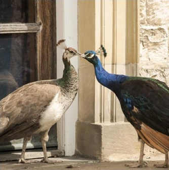 Peacocks at Nunnington Hall, North Yorkshire