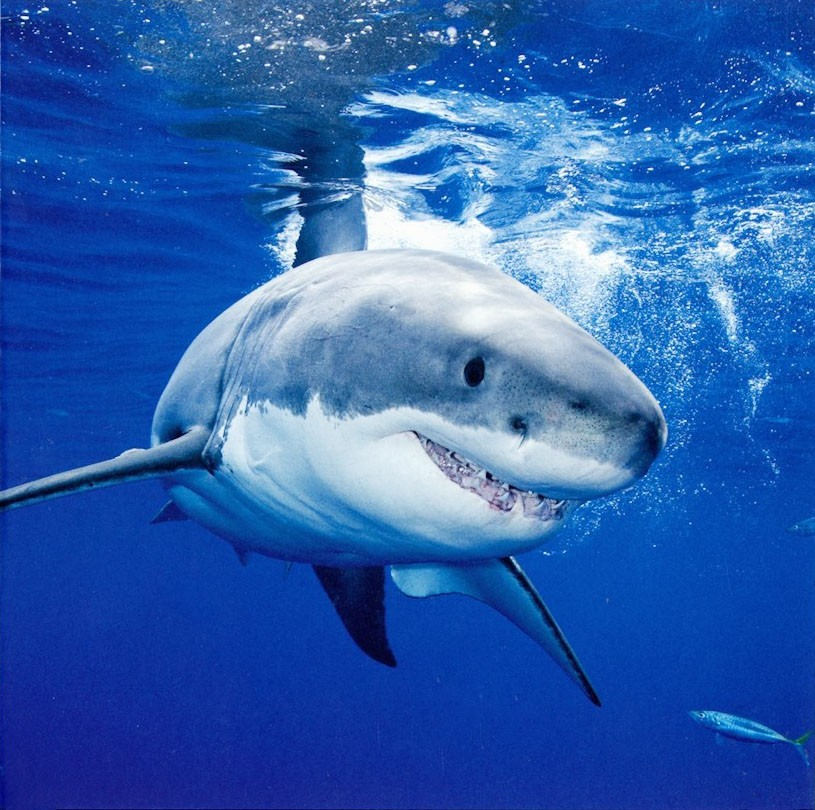 shark birthday card wave, Birthday card