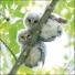 Tawny owl chicks
