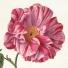 Provins rose