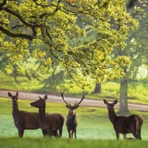 Red Deer at Fountains Abbey, North Yorkshire